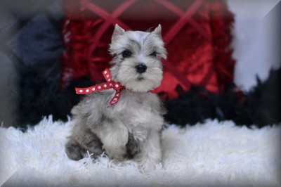 Black And Silver Schnauzer Amp Liver Tan Schnauzer Breeder