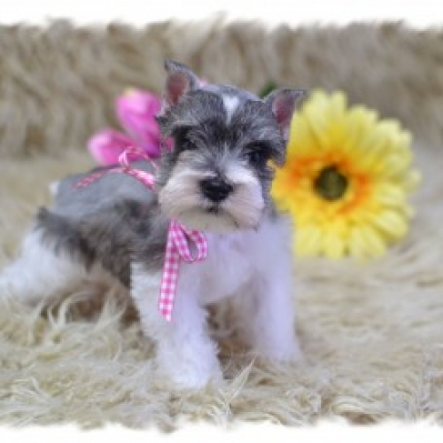 Salt And Pepper Mini Schnauzer Dog Breeder In Tx Ok Rojos