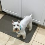 White Miniature Schnauzer For Sale