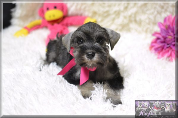 Hypoallergenic Schnauzer Puppies For Sale In Tx Ok Rojos